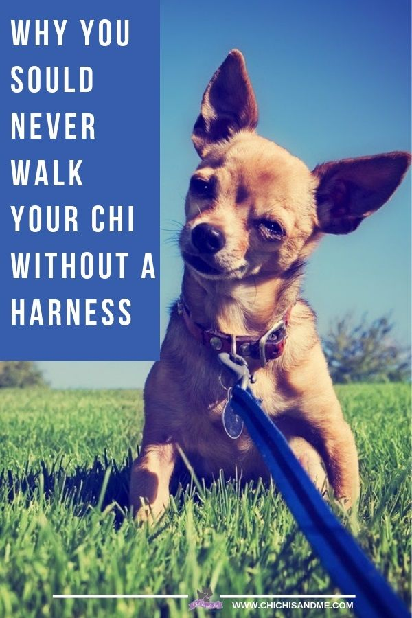 Why You Should Never Walk A Chihuahua Without A Harness