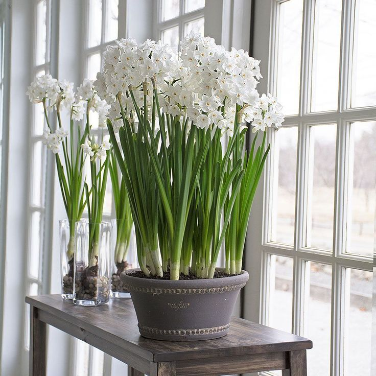 Paperwhites belong to a group of Daffodils that are not hardy for us, but are easily grown in a pot or vase indoors.