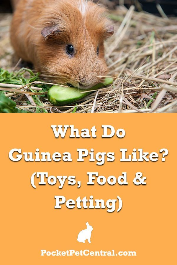 Pin On Guinea Pig 101 Group Board