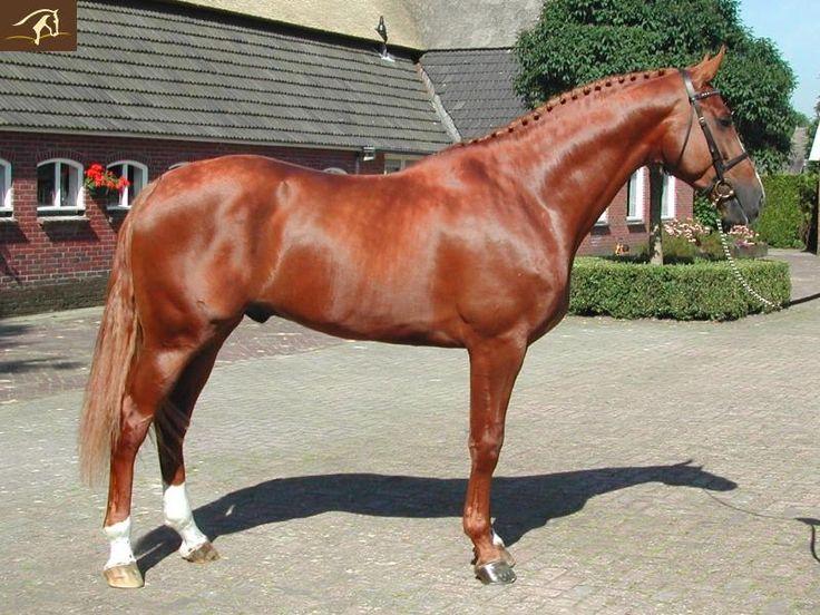Chestnut Dressage Horse - Warmblood Volturno - Stallion horse for sale | Benny de Ruiter Stables