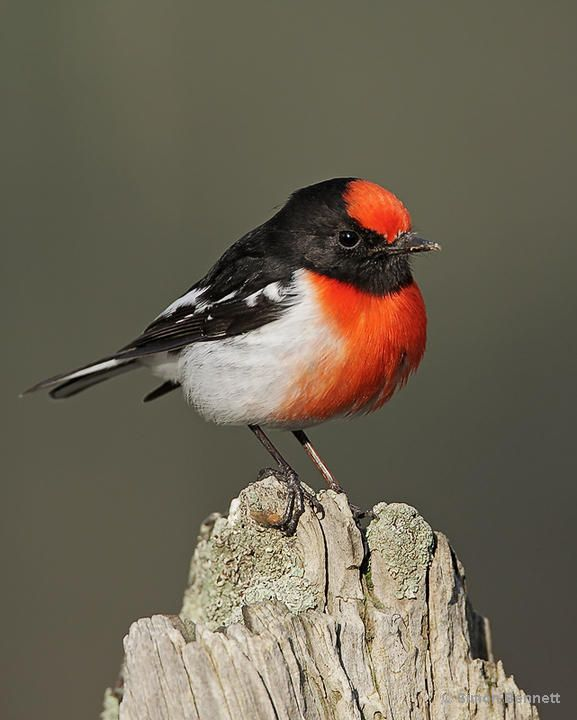 The Red-capped Robin - Petroica goodenovii, is a small passerine bird native to Australia. Photo by Simon Bennett.