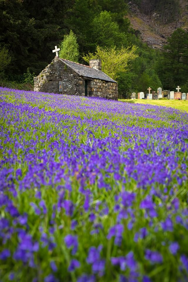 Bluebells in the summer at St. John's church grounds in Scotland