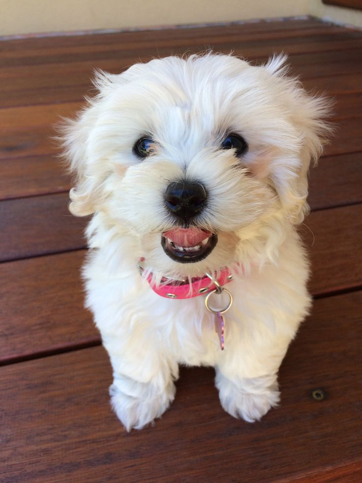 Marley the Cavoodle . She makes my heart melt a little bit everyday !