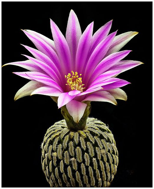 "Turbinicarpus Pseudopectinatus Flower - ""Turbinicarpus pseudopectinatus is a species of plant in the Cactaceae family. It is endemic to Mexico. Its natural habitats are temperate forests and hot deserts."""