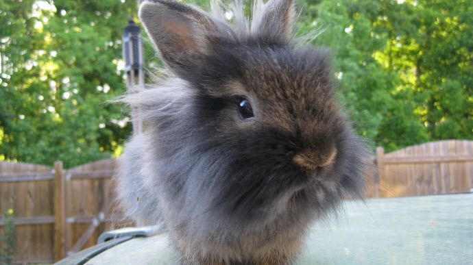 Brown and white lionhead rabbit - photo#2