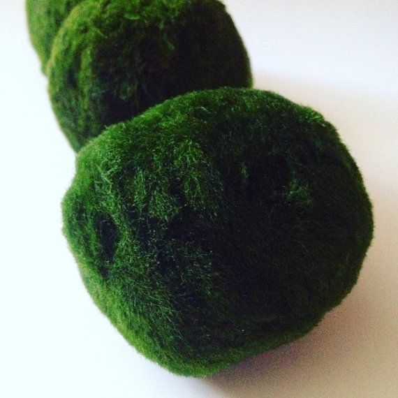 5X large, lush Marimo moss balls for your aquarium or terrarium. 2 inches or larger in size. DIY aquascape gifts! 100% Marimo! I do not sell rotten or mislabeled products. These are genuine, very green, high quality, snail free Marimo moss balls. Marimo moss balls make wonderful, unique gifts! They are extremely easy to care for and have been found to live over 200 years old 🐌  You will receive: ❤️ (5) Marimo moss balls 2+ inches in size ❤️ Simple to follow care instructions  ⭐️ Native to…