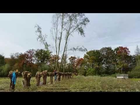 Knotten van wilgen met de kettingzaag op natuurkampeerterrein De Biezen