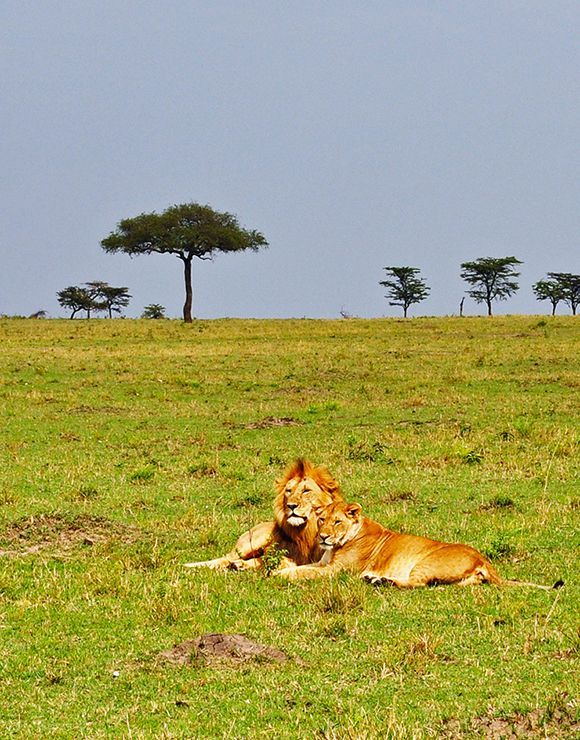 Lions rest in the Maasai Mara. Click to see more images from my safari in Kenya.