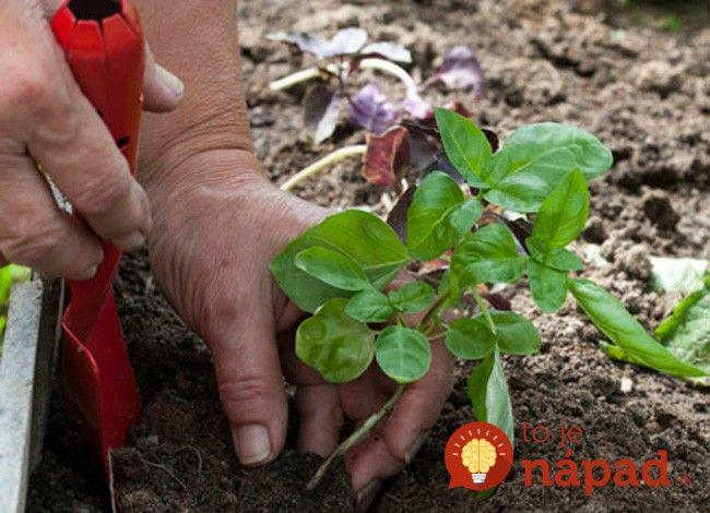 Viete, čo sa stane, keď zasadíte bazalku k paradajkám? Toto je úžasné!