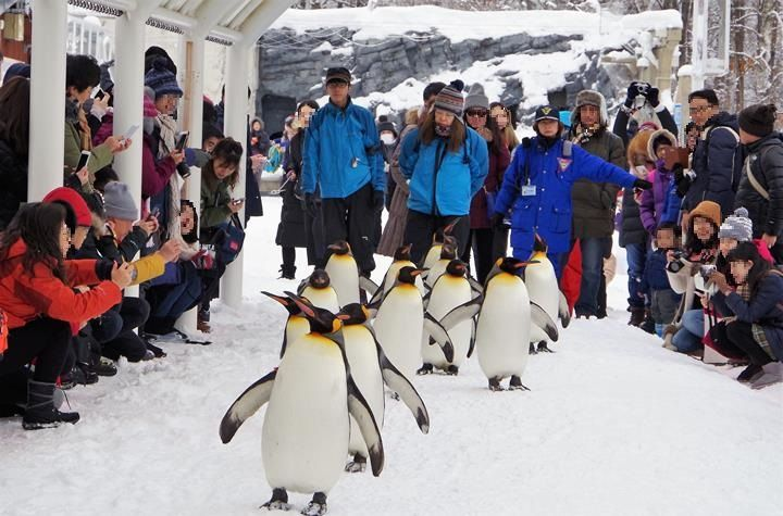 """""""Penguin Walk"""" is an icon of winter in Asahiyama Zoo. You can see the lively penguins closely! This event is so popular attracting numbers of people every day. I will introduce tips about when and where to watch Penguin Walk!"""