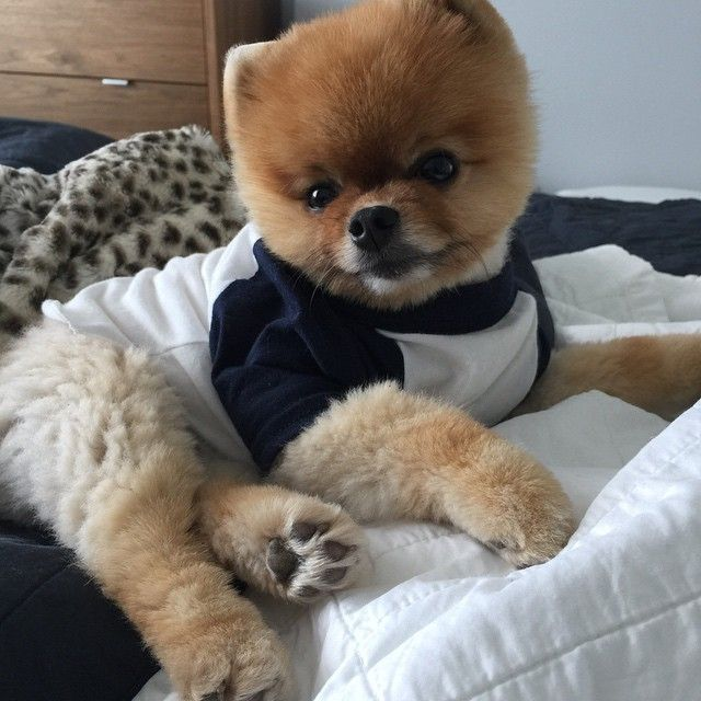 jeff the pomeranian 89 best jeff pom images on pinterest adorable animals 2648
