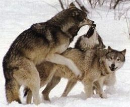 wolfs fighting
