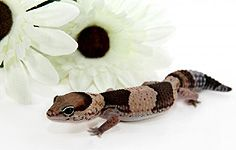 African Fat-tailed Gecko Everything you need to know! Great Information
