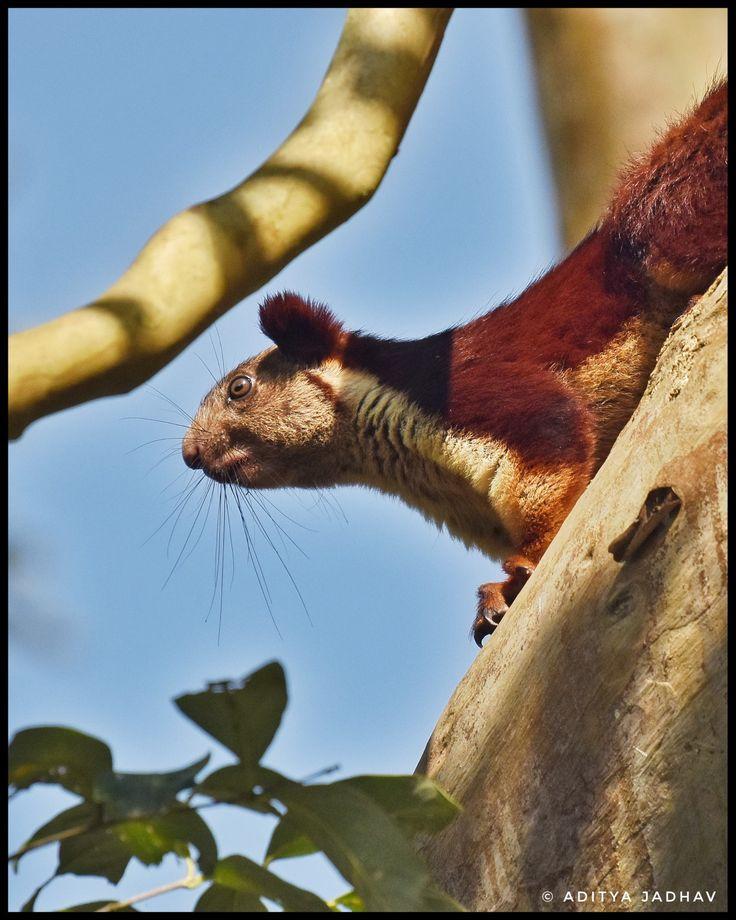 Giant squirrel, malabar giant squirrel, state animal of Maharashtra, kabini jungle, kabini national park,