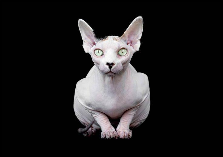 Alicia-Rius-Sphynx-cat-3