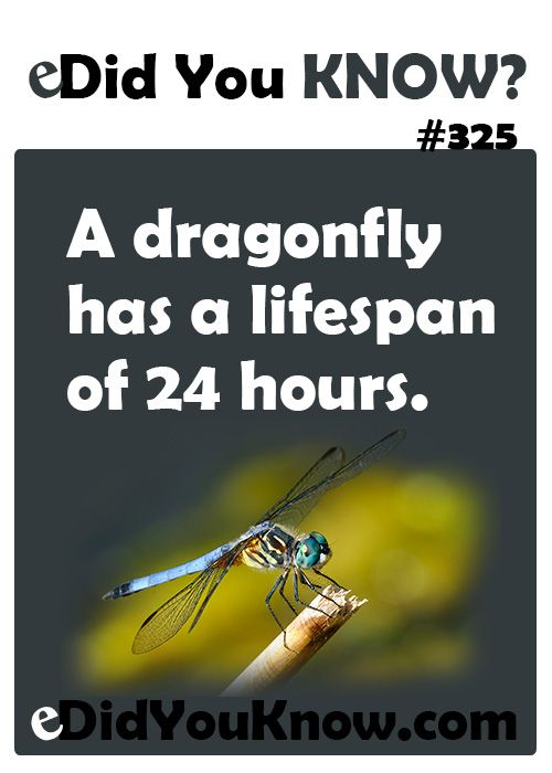 A dragonfly has a lifespan of 24 hours. http://edidyouknow.com/did-you-know-325/