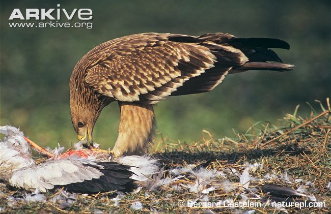 Adult imperial eagles (Aquila heliaca)are stocky in shape with black-brown feathers and a pale golden crown and nape. The shoulders have prominent white patches and the tail is greyish-brown...