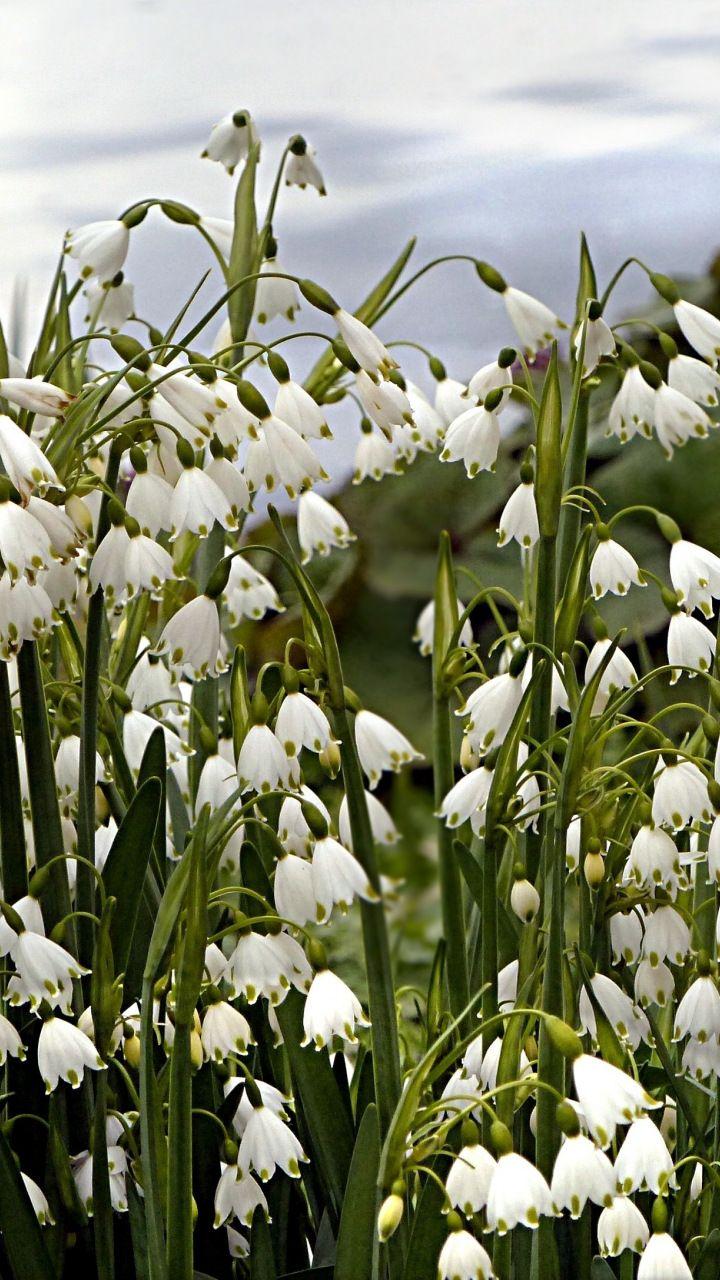 Plants Flowers Snowdrop White 720x1280 Wallpaper Fiori Paesaggi Natura