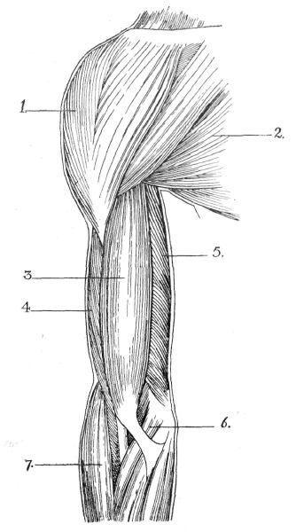 Fig. 36. Superficial Muscles of Shoulder and Arm from Before (Right).