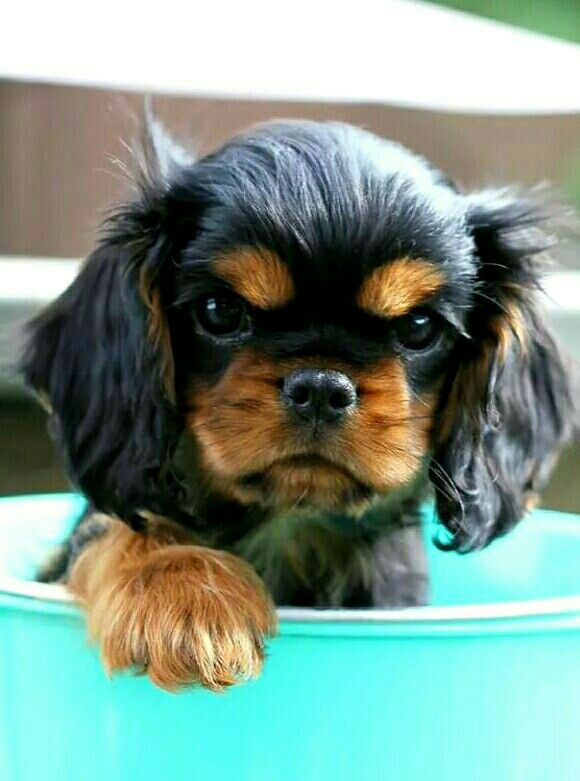 Completely adorable Black and Tan Cavalier puppy