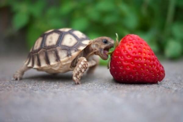 Si quieres saber qué comen las tortugas. Te explicamos con todo detalle cómo debe ser la dieta de estos galápagos y muchos consejos más. #curiosidades #curiosfera @curiosfera #mascotas #tortuga