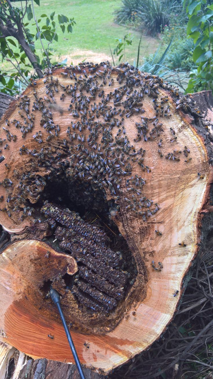 Bee removal in a tree in Johannesburg http://beeremovalexpert.co.za/