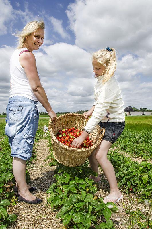 Pluk selv jordbær i Danmark