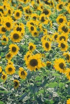 Plant just one sunflower variety or plant an assortment of sizes and colors.