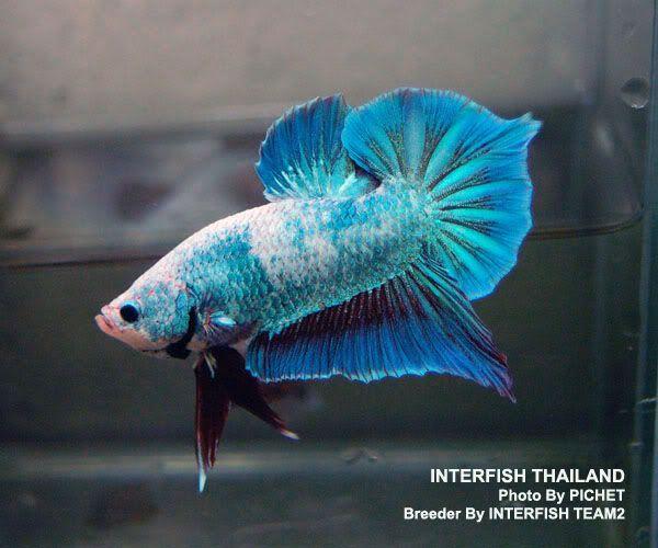Spade tail betta 39 y tan yal m betta fish pinterest for Good betta fish names