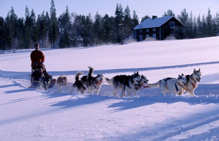 En Laponie, faire du chien de traineau