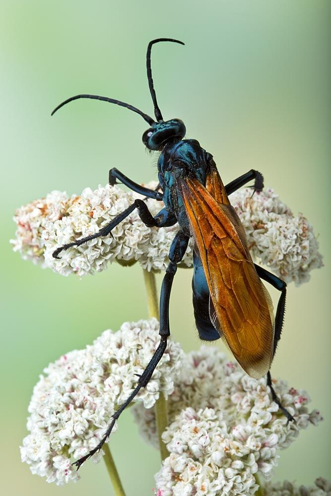 Tarantula Hawk Wasp by Bob Jensen, aka giant red winged wasp.  I hate these because I like the tarantulas in my front yard.