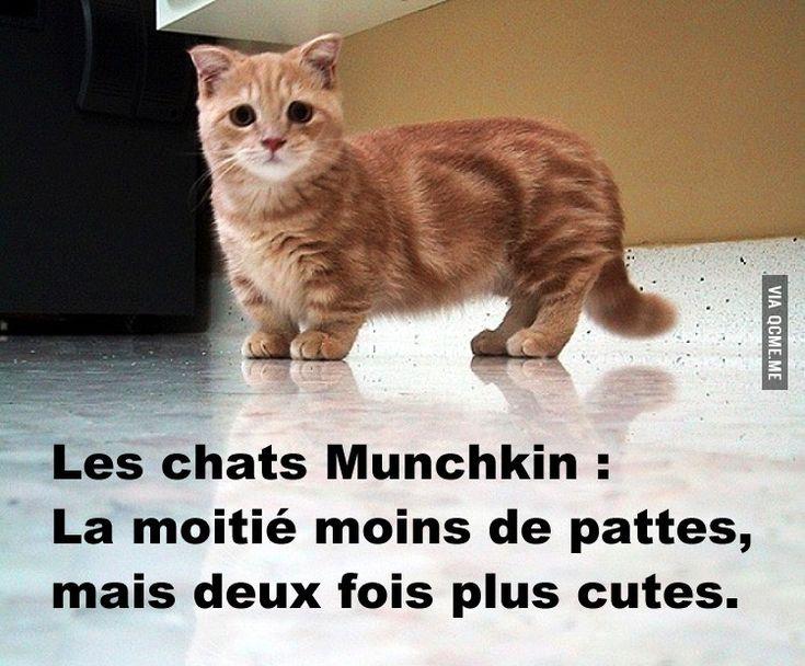 Chats munchkins a vendre - Prix chat munchkin ...