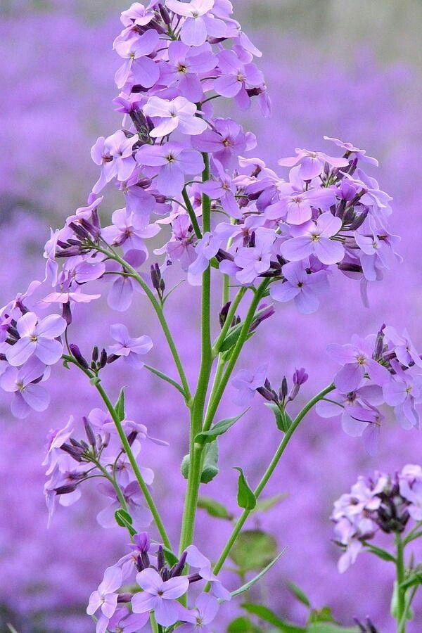 I cannot resist little purple flowers.