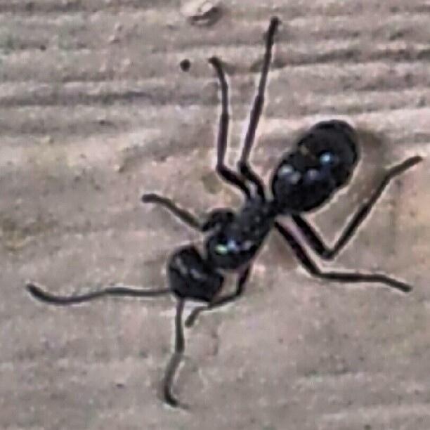 Australian Wildlife - Bull Ant by dgfoley, via Flickr