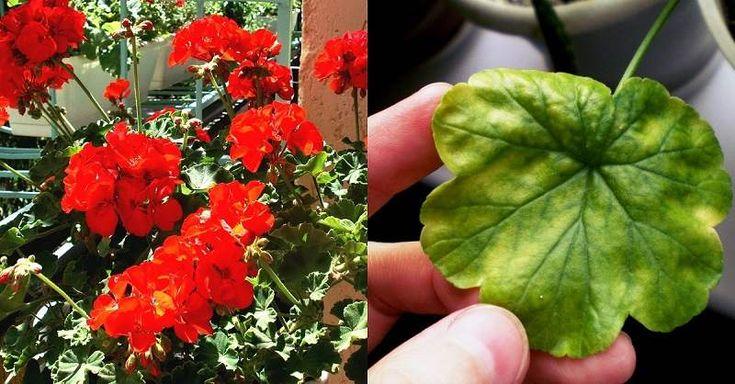 Pelargónie, nebo lidově muškát, je rostlina, která byla v minulosti považována za květ aristokratů. Jeho nádherně svěží květiny a jasné barvy dokáží ozdobit každou domácnost. Není to jen krásná rostlina a její léčivé vlastnosti by se určitě neměli podceňovat. Ukážeme vám, jak ji využít i pro