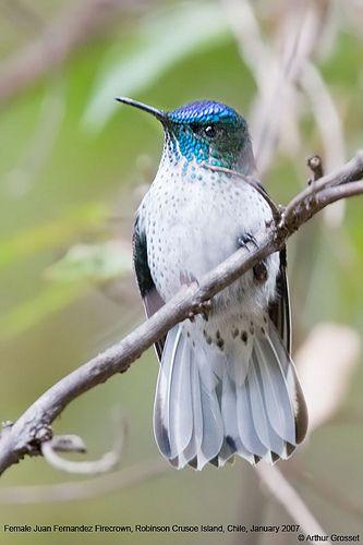 Juan Fernandez Firecrown (female)... a hummingbird found soley on Robinson Crusoe Island, Chile