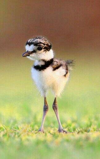 Baby Killdeer  | nature | | wild life | #nature #wildlife  https://biopop.com/