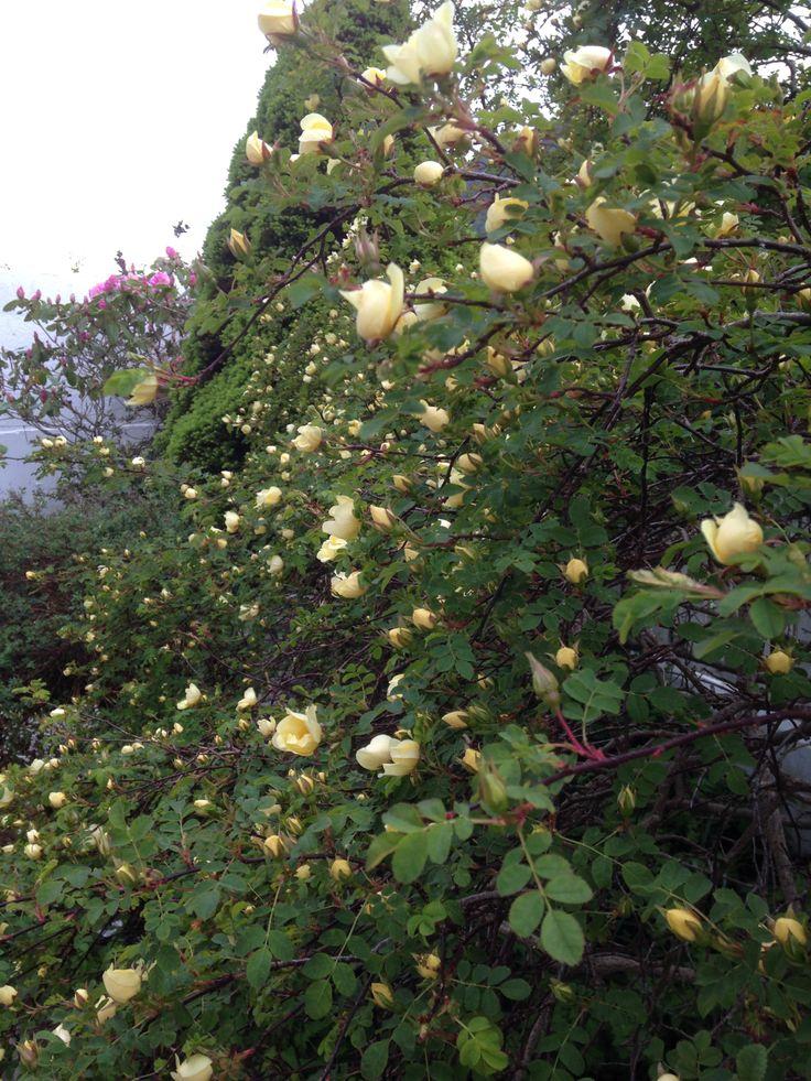 Nå har min nydelige parkrose 'Aicha' begynt så vidt å blomstre :) Denne er jeg veldig glad i - særlig fordi den blomstrer så tidlig og blir fullstendig dekket av gule roser etterhvert :) / Now my wonderful 'Aicha' is just starting having roses - I particularly love this rose because of it´s early and rich flourishing <3
