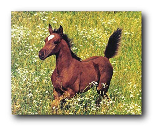 This wonderful running Arabian horse poster will make your living room visually appealing. Arabian horse's is one of the most easily recognizable horse breeds in the world. Arabian horses lived in the desert in a much closed association with humans. This horse wall decor will surely do wonder in your place. This horse poster will look great hung in your living room, a spare bedroom or even in your entryway spaces. It will make a great gift for any horse lover.