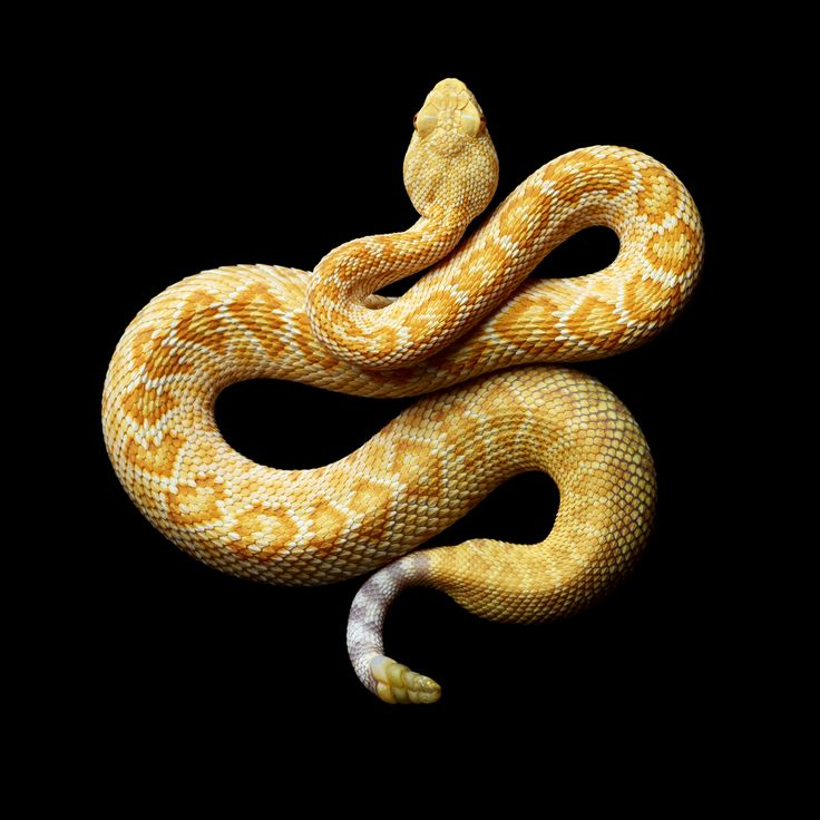 This albino Western diamondback rattlesnake (Crotalus atrox) is a venomous rattlesnake species found in the United States and Mexico. It is likely responsible for the majority of snakebite fatalities in northern Mexico and the second greatest number in the USA after the eastern diamondback rattlesnake.