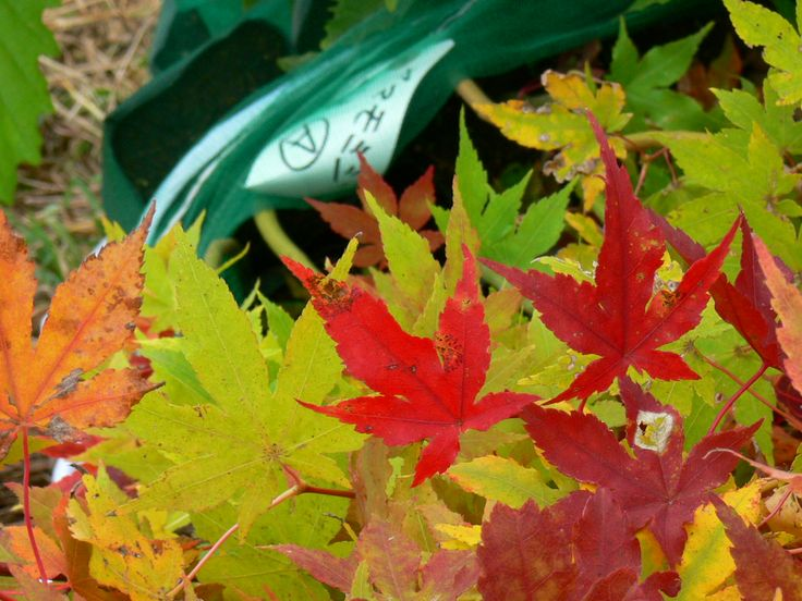 ≪Present Tree in 宮古≫ 第2回植樹イベント_20131013 ヤマモミジの苗木の中には色づいているものもありました。