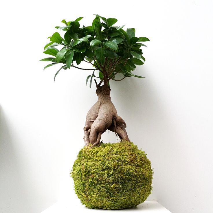 kokedama ficus ginseng kokedamas paris les jardins. Black Bedroom Furniture Sets. Home Design Ideas