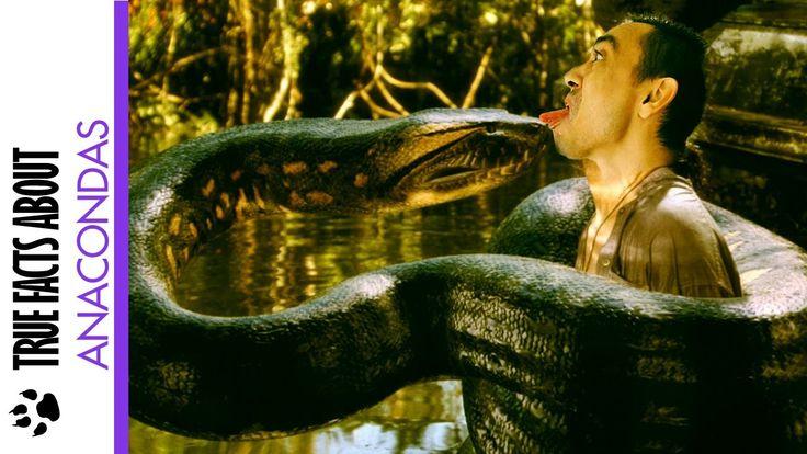 Anaconda Facts - True Facts About the Anaconda #anaconda #facts #snakes