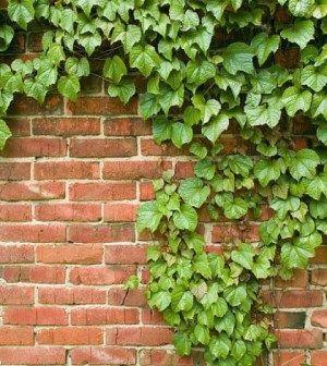 Plantas para Muros o Paredes ⋆ Siendo Saludable