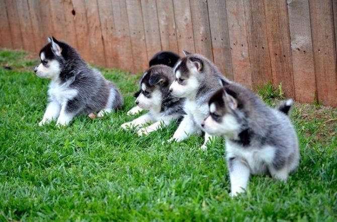 AUBURN They are really show quality puppies, very clever and attentive. They can…