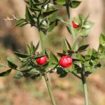 Ruscus Plant Info: Learn About Ruscus Varieties For Gardens Ruscus, also known as butcher's broom, is a shrubby, tough as nails evergreen. If you're looking for a drought-tolerant, shade-loving, deer-resistant plant, Ruscus is a good bet. Click on the following article for more Ruscus plant information.  Ruscus Plant Info: Learn About Ruscus Varieties For Gardens Ruscus, also known as butcher's broom, is a shrubby, tough as nails evergreen. If you're looking for a drought-tolerant…