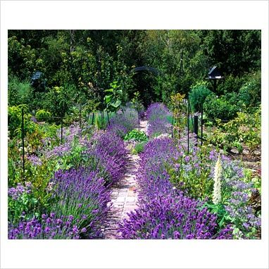 Vegetable garden with lavender edged path