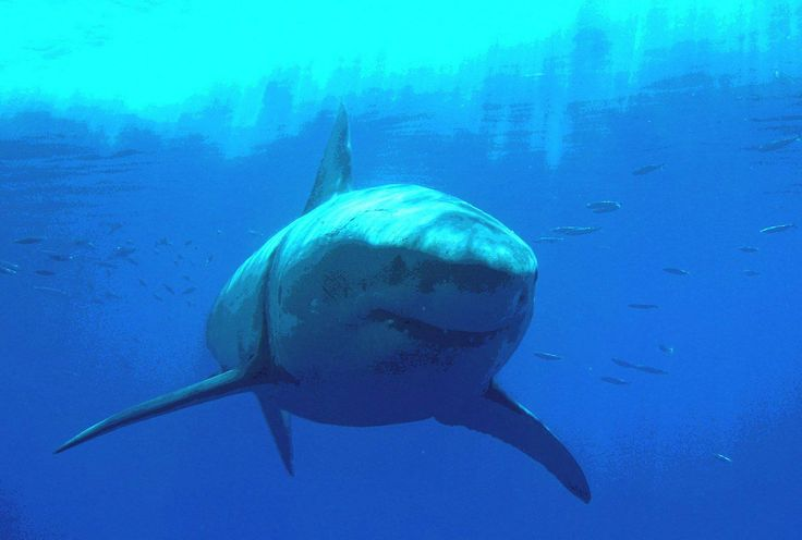 Great White Shark Wallpapers Iphone Animals Wallpaper