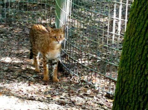 Diablo Male Savannah Cat  (Hybrid cross of domestic cat and African Serval) Big Cat Rescue, Tampa FL