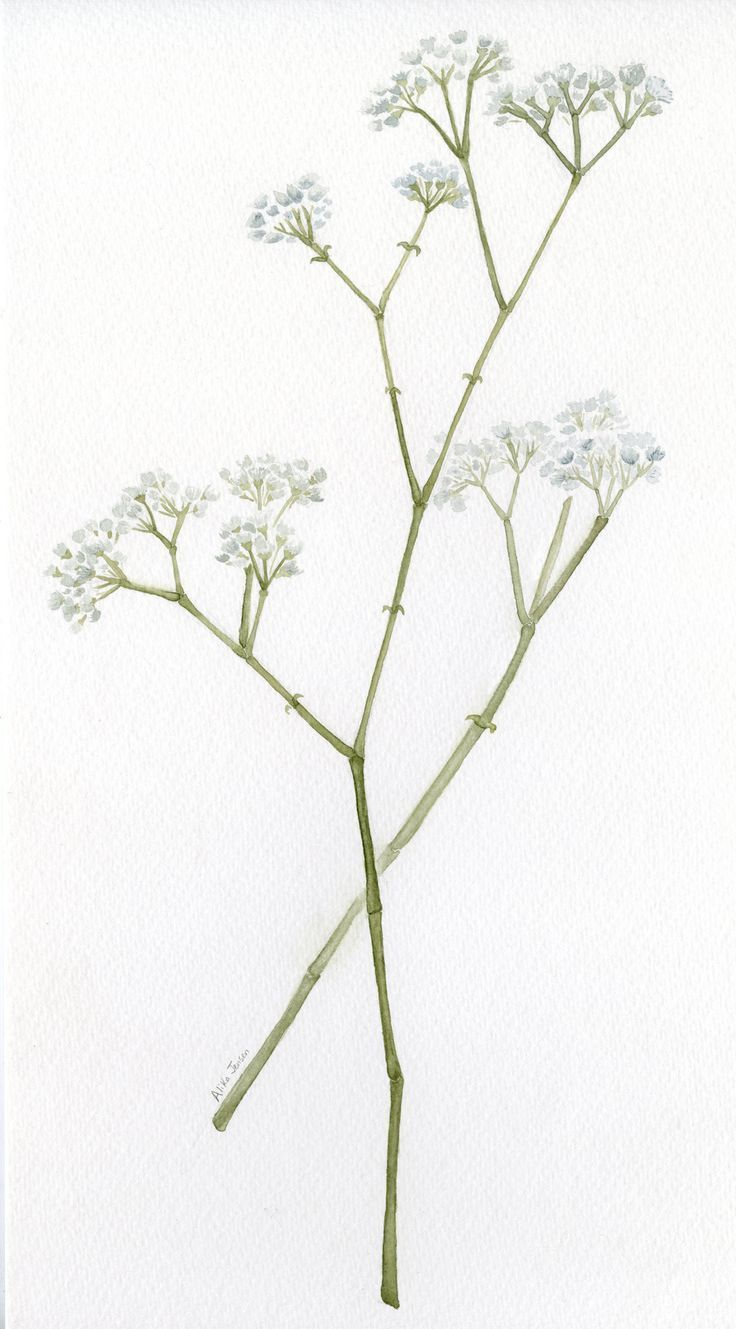 Image Result For Baby S Breath Watercolor Baby Breath Tattoo Gypsophila Tattoo Blue Drawings